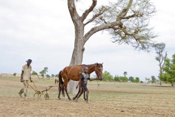 In Sengal werden die Felder von den meisten Selbstversorgern noch mit Pflug und Pferd bestellt. | © Jean-Claude Gadmer, Fastenopfer
