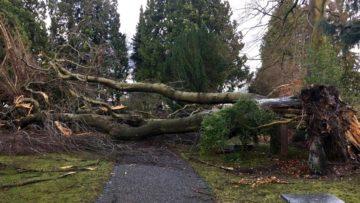Auf dem Friedhof Rosengarten in Aarau wurde ebenfalls ein Baum entwurzelt. | © Remi Bütler, SRF