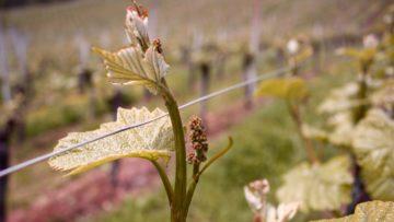 Der Branchenverband Aargauer Wein plant eine Anfrage an das Generalvikariat. Wächst im nächsten Frühling bereits ein Aargauer Messwein heran? | © Marie-Christine Andres