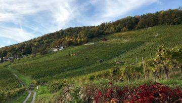 Mit 400 Hektaren Rebfläche ist der Aargau der viertgrösste deutschschweizer Rebbaukanton. Hier der Rebberg von Wettingen. | © Marie-Christine Andres
