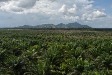 Wie ein Gespenst bedroht das Wachstum der Palmölindustrie auf Indonesien die ansässige Bevölkerung. Ständig werden neue Plantagen angelegt. Viele Kleinbauern verlieren ihr Land und finden nur selten auf den Plantagen eine Beschäftigung. | © Urs Walter
