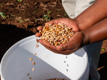 Bohnensamen aus Kolumbien: Eigenzüchtungen von Kleinbauern werden in den Ländern des Südens vielfach verboten. | © Fastenopfer