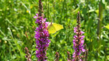 Schmetterlinge, Bienen, Hummeln – der kleine Klostergarten beherbergt sie alle. Die Blumen und Kräuter, die dort wachsen, werden meist zu Blumensträussen für die Zimmer oder Tee verarbeitet. | © Anne Burgmer