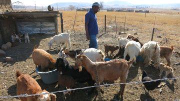Dank ihrer Flechtarbeit besitzt Alta Dludla nicht nur eine Kuh, sondern auch Geissen und einen Bock. | © Patricio Frei