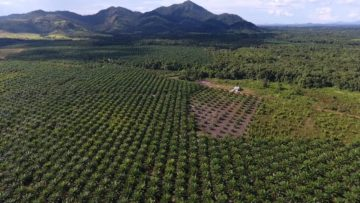 Weltweit wächst die Nachfrage nach Palmöl rasant. Als Folge werden in Indonesien Quadratkilometer um Quadratkilometer Regenwald für Palmölplantagen gerodet. Auch jene Schweizer Banken sind investiert, die für kirchliche Pensionskassen Vermögen verwalten. © François de Sury